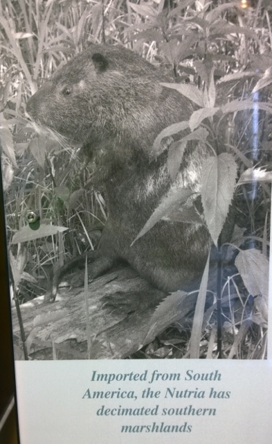 Nutria - Beaver body Rat tail
