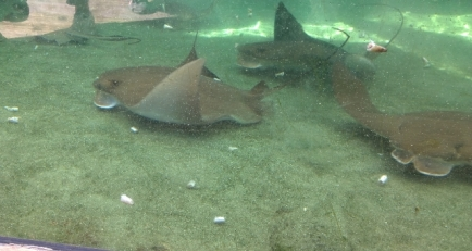 Cownose Rays feeding - shovels used to guide food to lower mouth