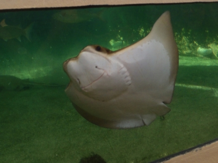 Cownose Ray - mouth on underside