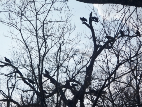 Turkey Vultures waiting for us to fall in