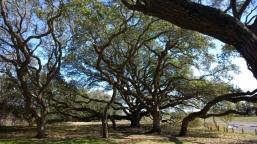 Big Tree offspring