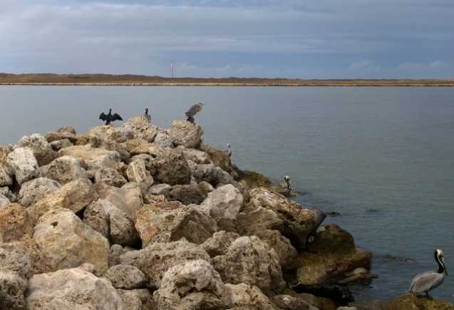 Cormorant, Blue Heron, Brown Pelicans