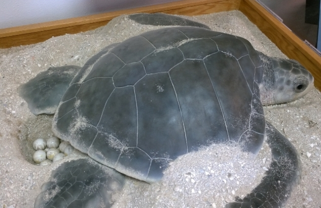 Kemp's Ridley Turtle display