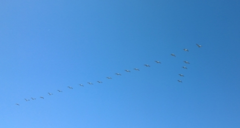 Brown Pelican V formation