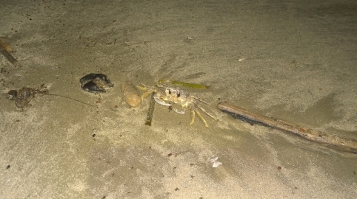 Ghost Crab eating cricket