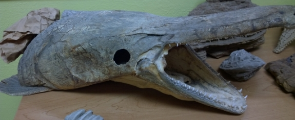 Alligator Gar skull