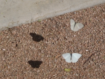 Butterflies and their shadows
