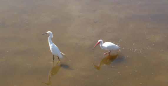 Snowy Egret and White Ibis