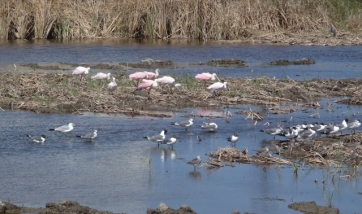 Roseate Spoonbills and Laughing Gulls