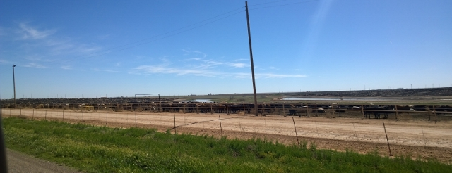 Texas Beef Cattle in Hereford