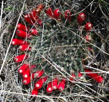 Cactus startirg to bloom