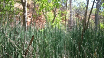 Rough Horsetail aka Scouring Rush
