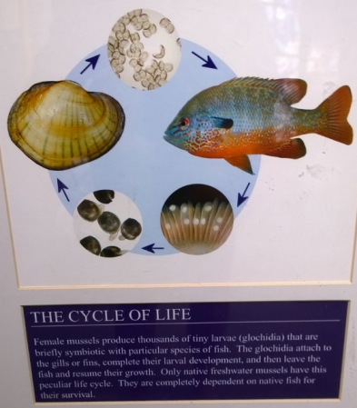 Mussel Life Cycle