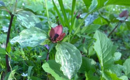 Prairie Trilliums