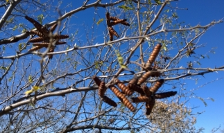 Seed pods on Mesquite Tree