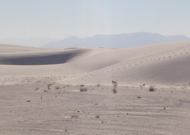 Alkali Flat Trail - Coyote
