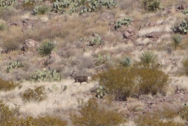 Rockhound SP - Mule Deer