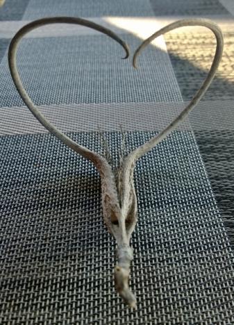 Unicorn Plant - Devil's Claw seed pod