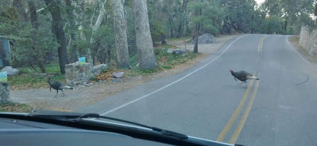 Wild Turkey crossing