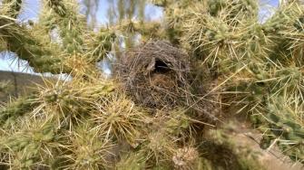 Cactus Wren nest in Chain Fruit Cholla