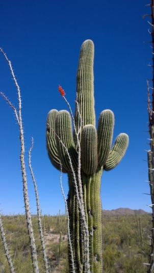 Ocotillo with flower, Saguaro behind