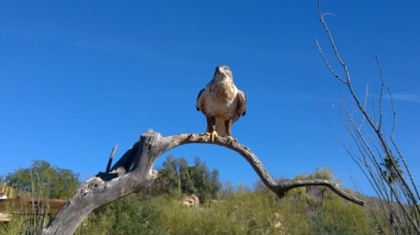 Harris's Hawk - this is the guy who flew away and came back