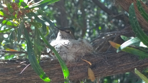 Hummingbird in nest