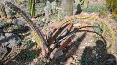Sina Cactus