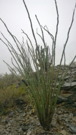 Ocotillo with leaves, liking the rain