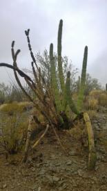 Dying Organ Pipe Cactus