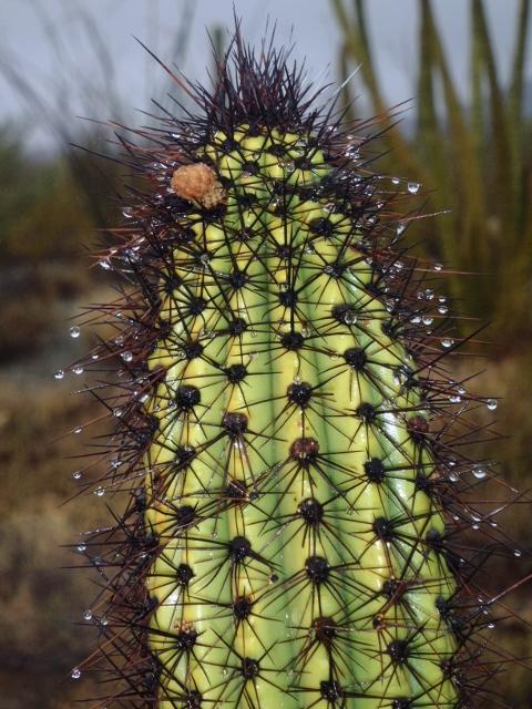 Raindrops on a Saguaro