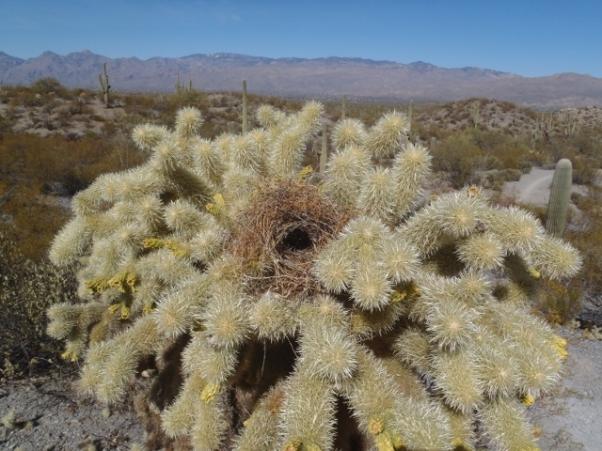 Cactus Wren nest in Teddy Bear Cholla