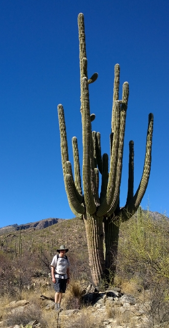 How many arms can a Saguaro grow