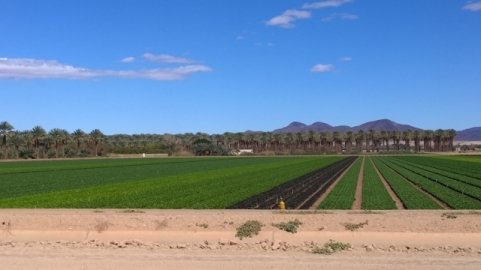 Lettuce and Date Farms