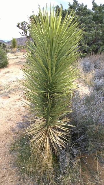 Baby Joshua Tree