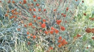 Red Top Buckwheat