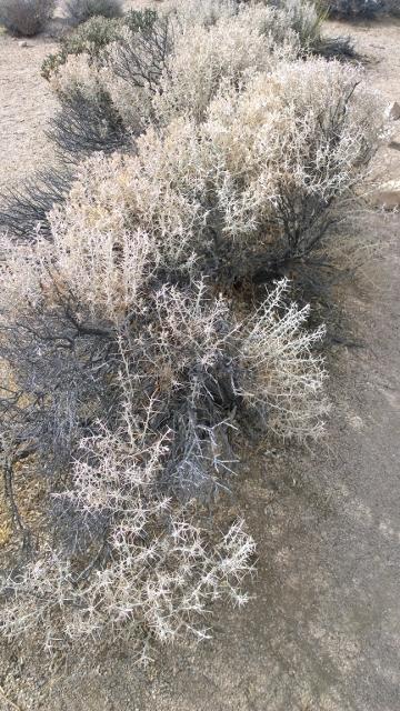 Cotton Thorn