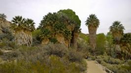 Cottonwood Spring Fan Palms