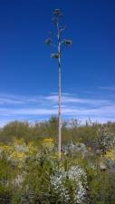 Century Plant starting to flower