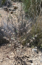 Desert Lavender - supposedly can be used as a hangover cure
