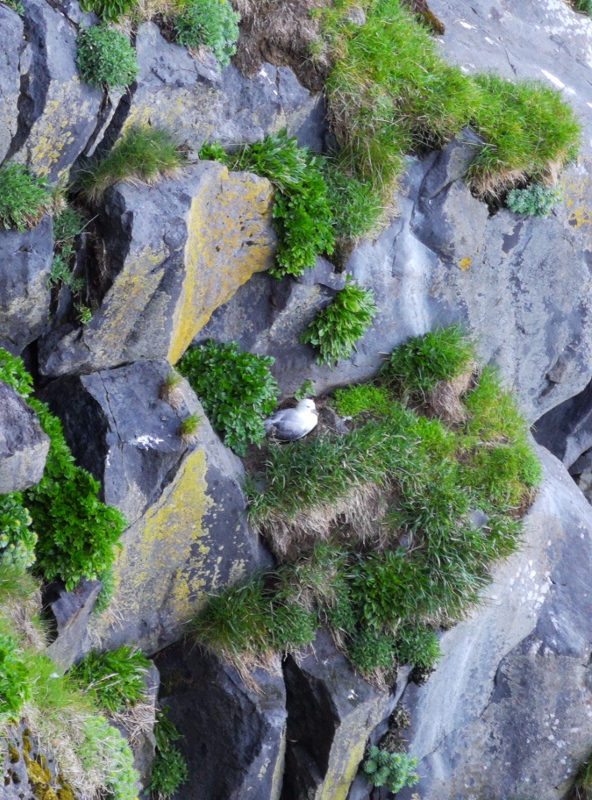 Fulmar on cliff edge