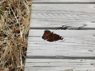 Swallowtail Butterfly?