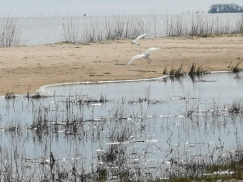 Great Egret chasing another one away