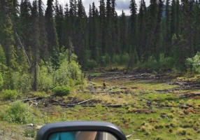 Our first bear sighting - we believe Black Bear with cinnamon colour as we couldn't see the grizzly hump