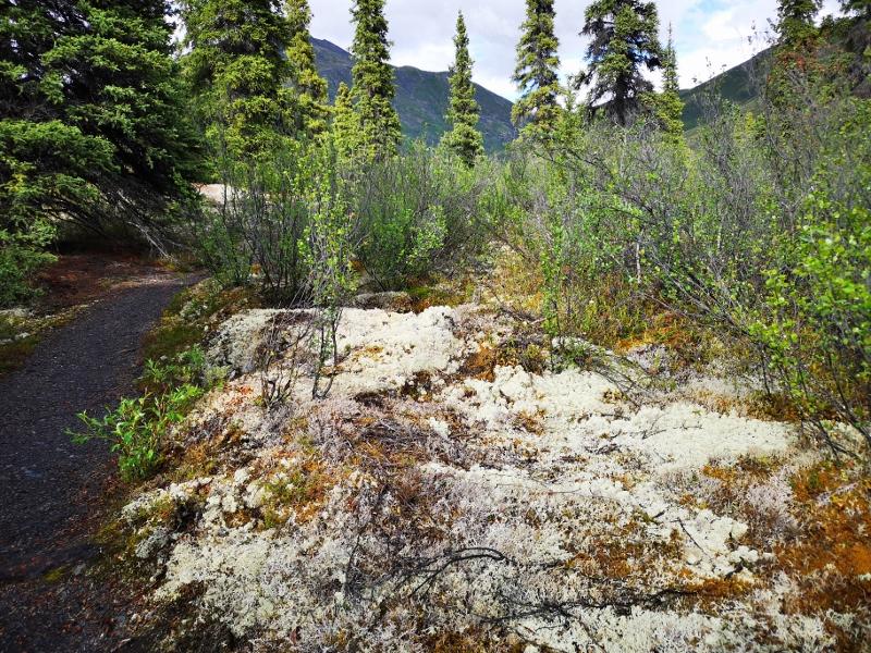 Lichen known as Reindeer Moss