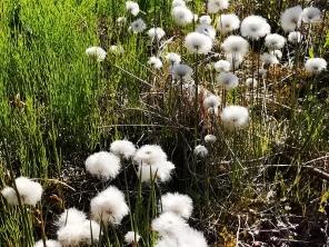 White Cotton Grass