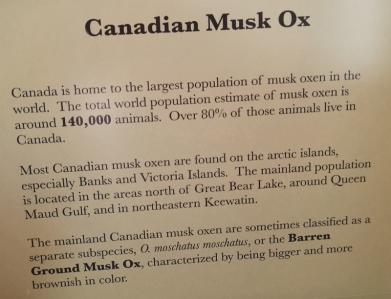 Musk ox in Canada