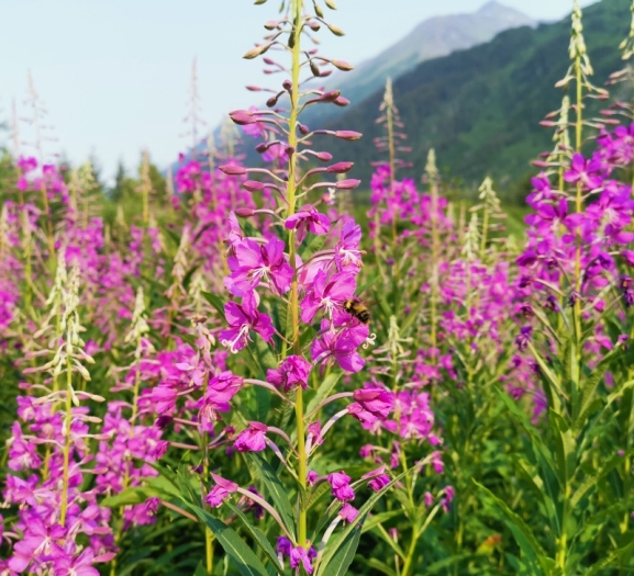 Bee in the Fireweed