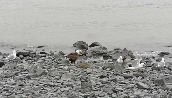 Bald Eagle having breakfast