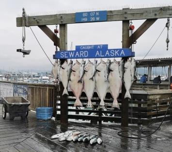 The Halibut catch in Seward was much smaller than Valdez